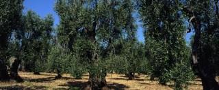 """Strage ulivi Puglia, spunta ipotesi dolosa. Fara (Eurispes): """"Guerra chimica"""""""