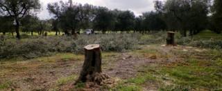 Strage ulivi in Puglia, i documenti che scagionano lo Iam non convincono i pm