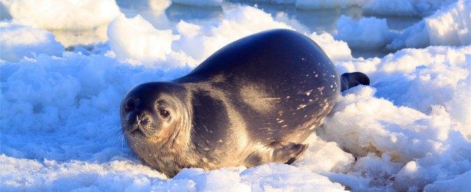 """Canada, ritorna la caccia alle foche: """"Cacciatori potranno ucciderne 468 mila"""""""