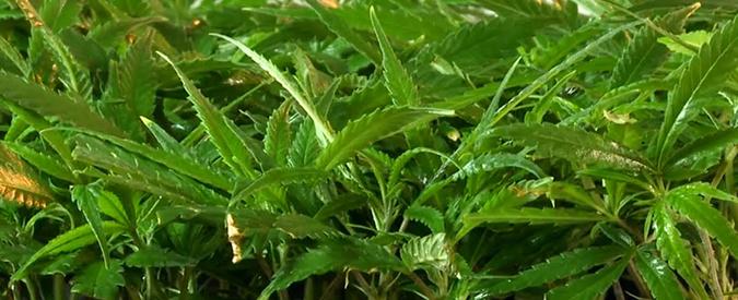 """'Ndrangheta, scoperti a Vibo Valentia i """"giardini segreti"""" della cosca Mancuso: sequestrate 26mila piante di marijuana"""