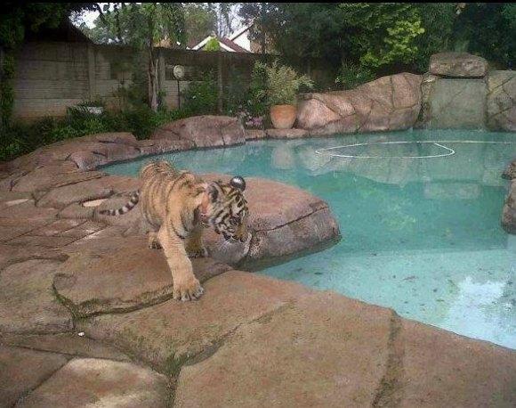 tigre villa-580