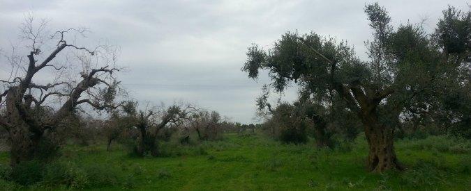 """Xylella, l'Ue: """"A nord di Lecce via le piante in un raggio di 100 metri da ulivi malati"""""""