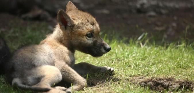 Fauna selvatica: orsi e lupi cercano di moltiplicarsi. Nonostante vivano in un paese di bracconieri