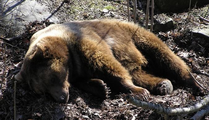 Life Ursus: reintroduzione dell'orso nel Brenta. Ma l'uomo chi lo gestisce?