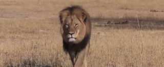 """Zimbabwe, leone Cecil decapitato dopo 40 ore di agonia. Il turista killer: """"Mi scuso. Non sapevo fosse conosciuto"""""""