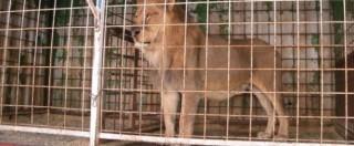 Zimbabwe, caccia al turista americano accusato di aver ucciso il leone Cecil