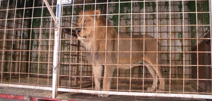 La Catalogna vieta il circo con animali, l'Italia lo promuove