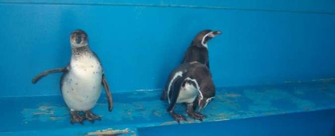Pinguini rinchiusi in frigorifero e pellicani maltrattati, sequestro al circo Colber