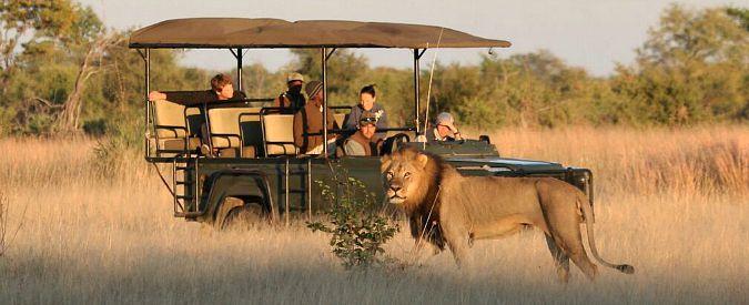 Zimbabwe, leone sbrana guida turistica nel parco in cui cacciatore Usa uccise Cecil