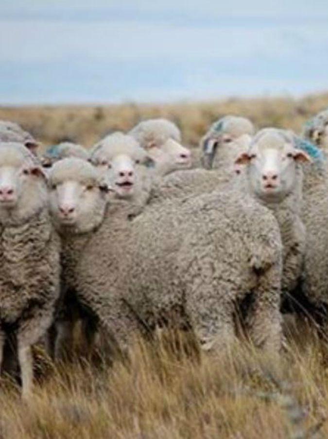 Pecore torturate e evirate  Stella McCartney taglia la fornitura di lana da  una fattoria 293900ff442