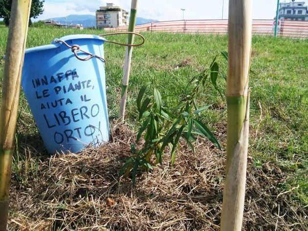 Salice biano appena piantato dai ragazzi di Latina