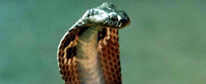 """Serpenti, Medici senza frontiere: """"Tra meno di un anno finiranno le scorte dell'antidoto contro veleno"""""""