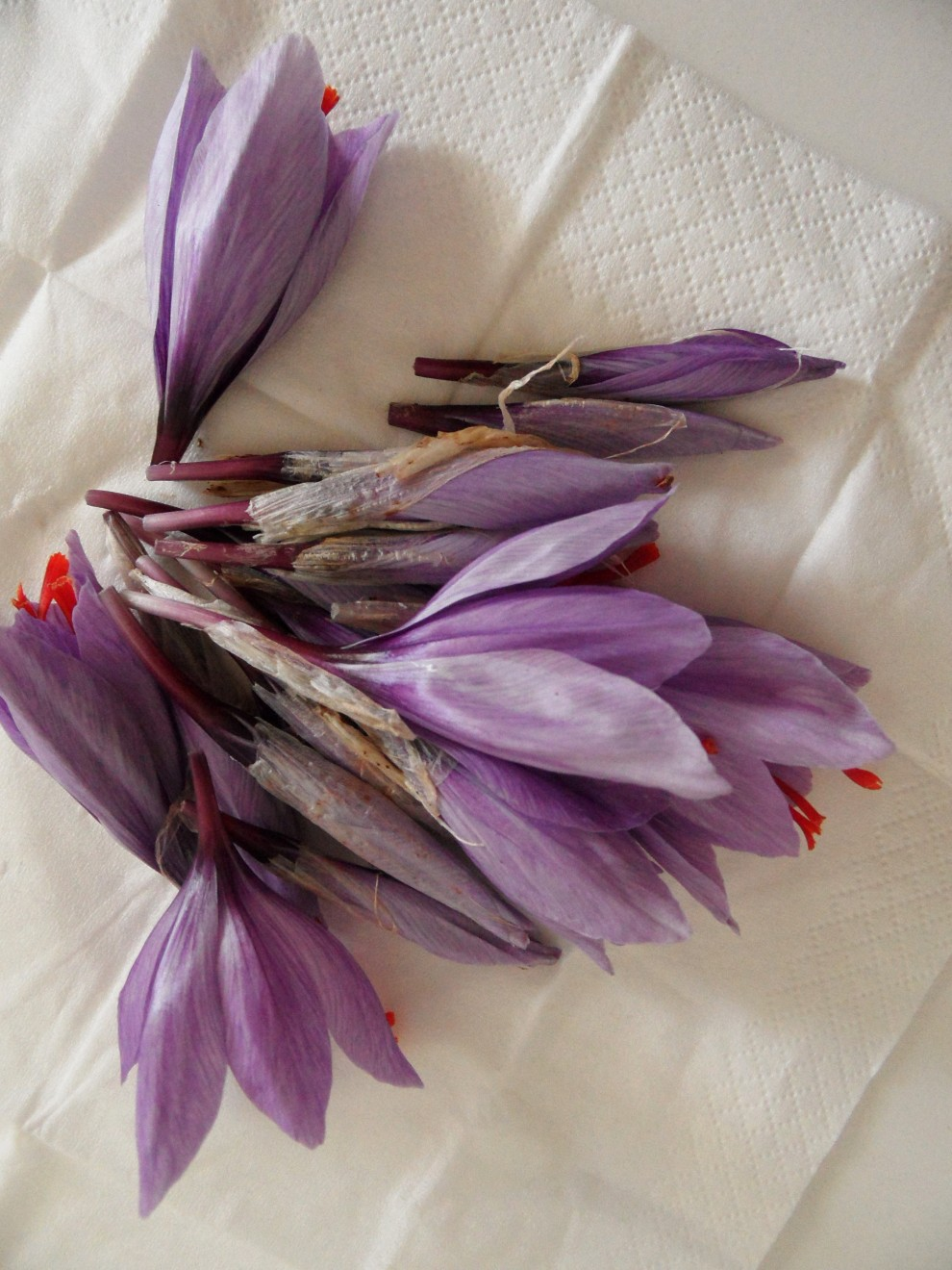 I fiori di zafferano raccolti per una lavorazione dimostrativa, non destinata alla produzione