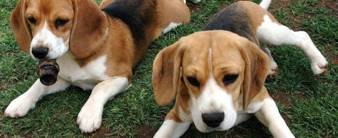 Cina, creati beagle geneticamente modificati per studiare Parkinson e distrofia e per operazioni militari