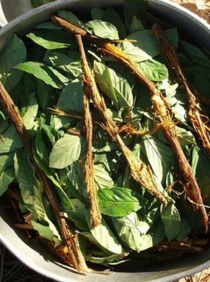 Ayahuasca, la bevanda allucinogena che viene dalle Ande e sta conquistando l'Europa: piace alle star di Hollywood