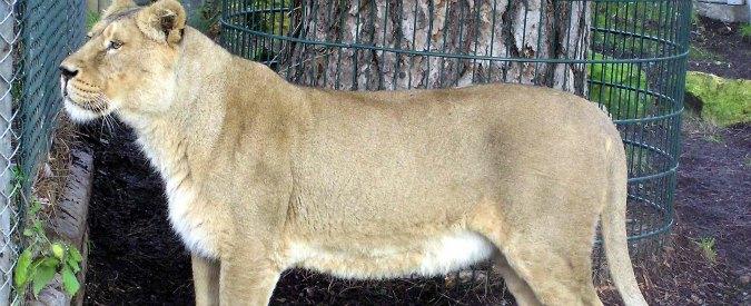 Zoo Copenaghen, leone sarà fatto a pezzi davanti a bambini. Come giraffa Marius