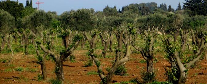 Xylella, nel Salento si possono tornare a piantare gli ulivi: Bruxelles dà il via libera
