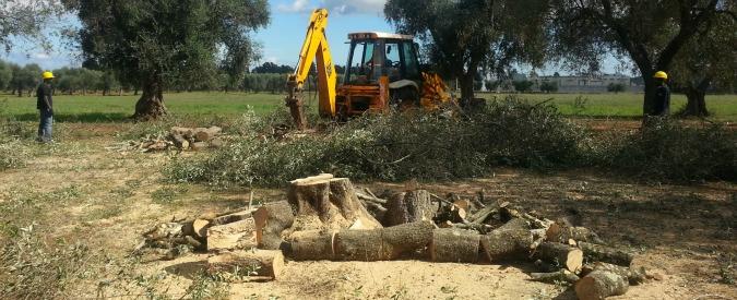 Xylella, in due mesi triplicato il numero di ulivi infetti in Puglia. La Regione stanzia 47 milioni di euro