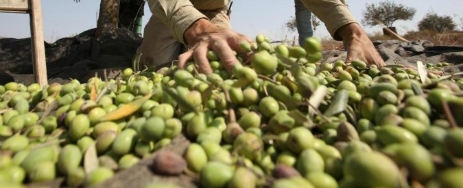 """Olio, progetto barese contro frodi e concorrenza sleale: """"Produttori potranno dimostrare che usano olive italiane"""""""
