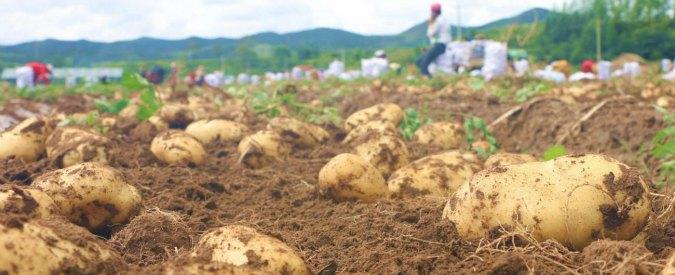 Serre sulla Terra come se fosse Marte: coltivare patate per combattere la fame nel mondo