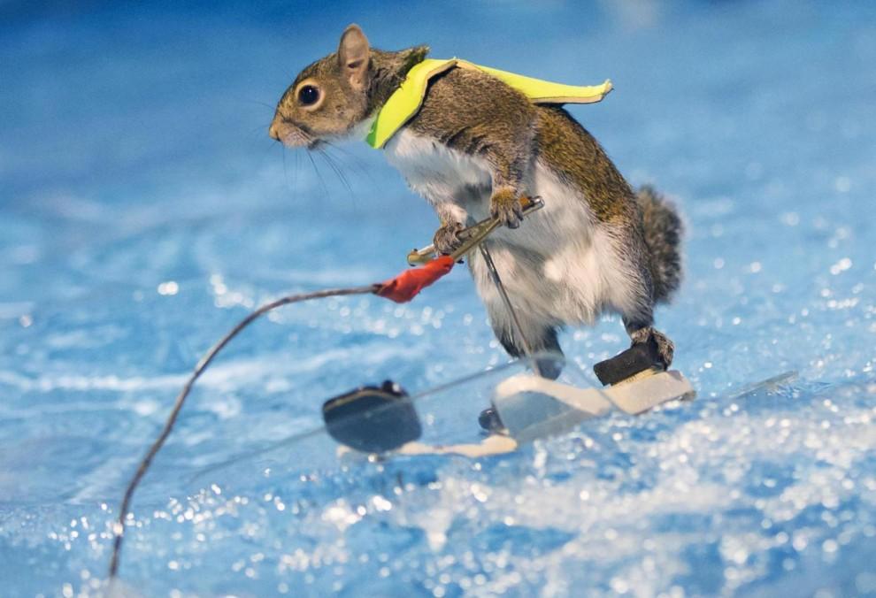 Twiggy: lo scoiattolo che fa sci d'acqua al Salone nautico di Toronto