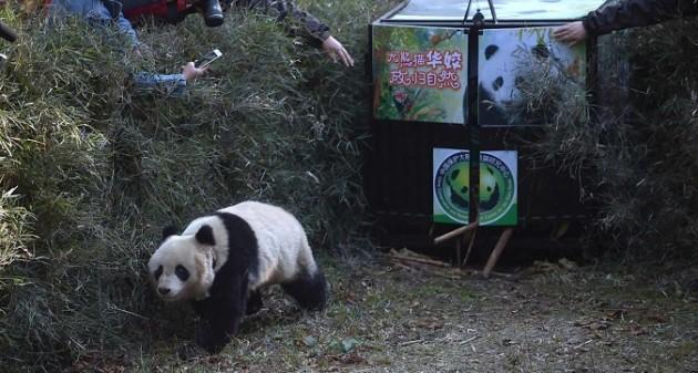 Cina,panda gigante ritorna nel suo habitat naturale
