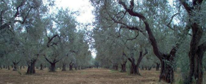 Enel Green Power, procura di Brindisi chiude l'inchiesta sul parco eolico tra gli ulivi monumentali: 11 indagati