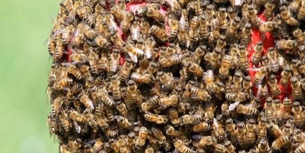 Padova vs Bari - api in campo