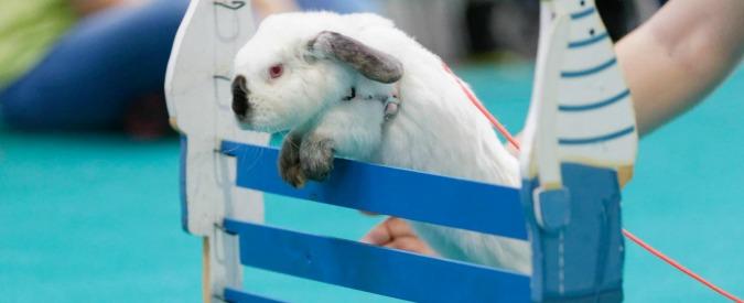 Addio canguro, al Senato è l'ora dei conigli: proposta di legge per vietarne il consumo e favorirne l'adozione