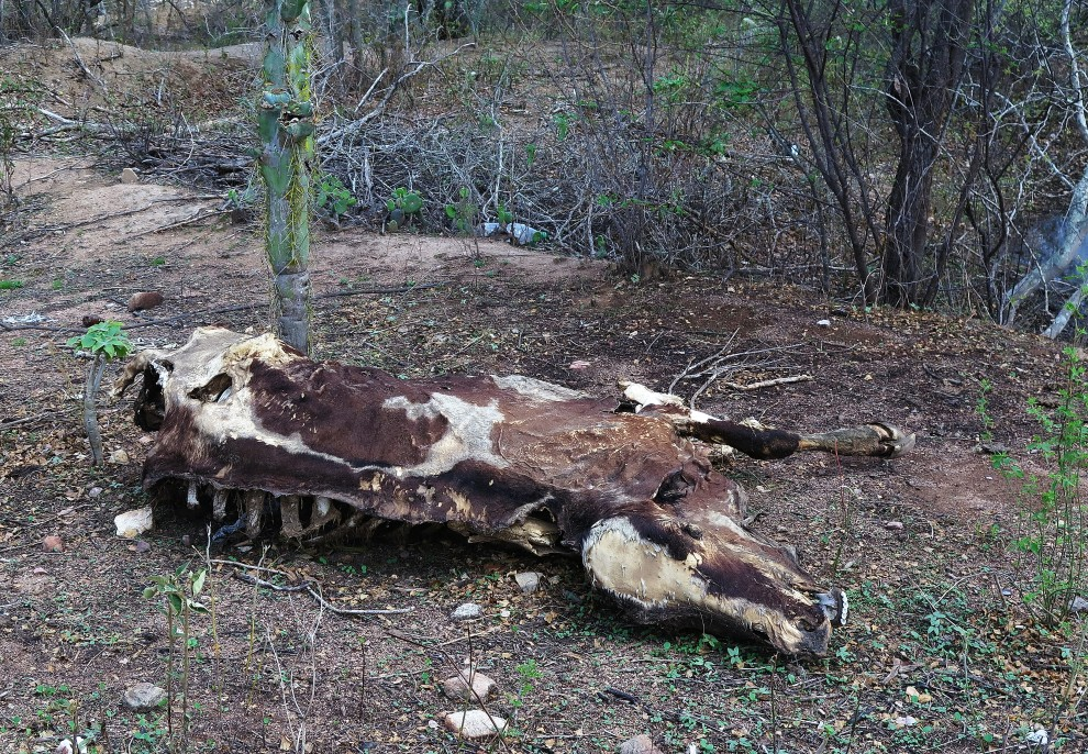 Carcassa di bue morto di sete nell'area Fulni-o