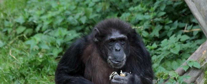 """Scimpanzé """"con il senso del divino e del sacro"""". Accumulano pietre davanti agli alberi come se fosse """"rituale simbolico"""""""