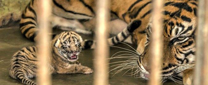 """Cina, cresce business del 'liquore di tigre': """"6.000 esemplari allevati per produrlo"""""""