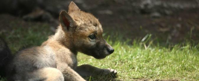 Abbattimento dei lupi verso il via libera per eliminare una quota