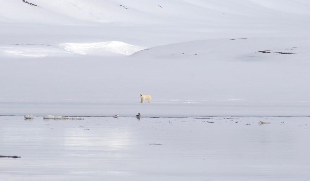 L'orso bianco si accorge di essere osservato…