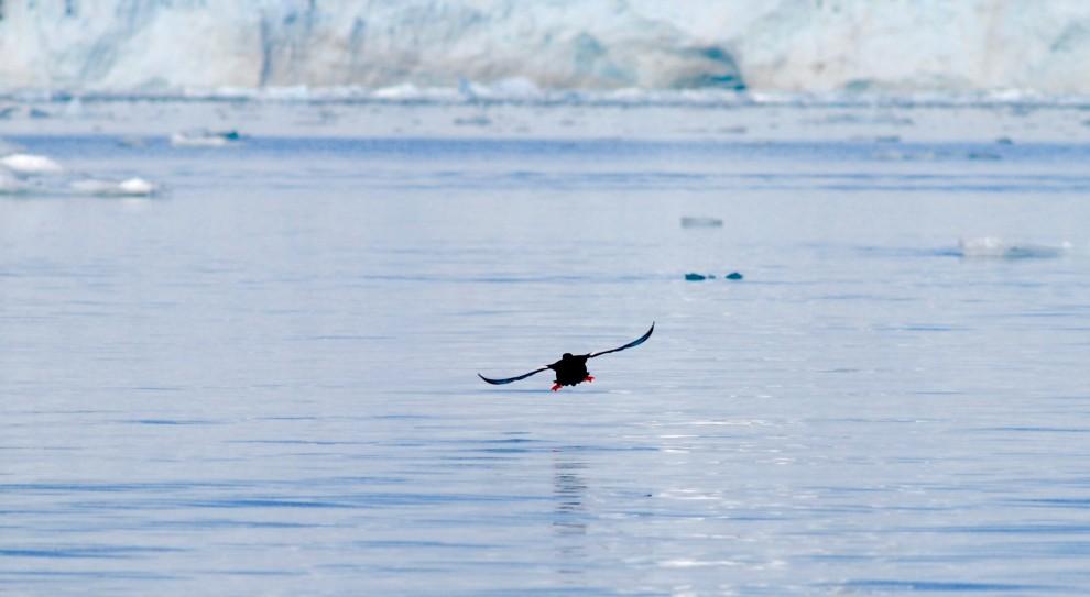 Pulcinella di mare in planata