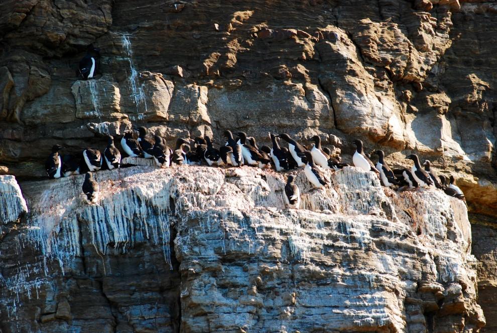 Uccelli marini sulla scogliera