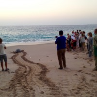 Le tartarughe di Ras al-Jinz
