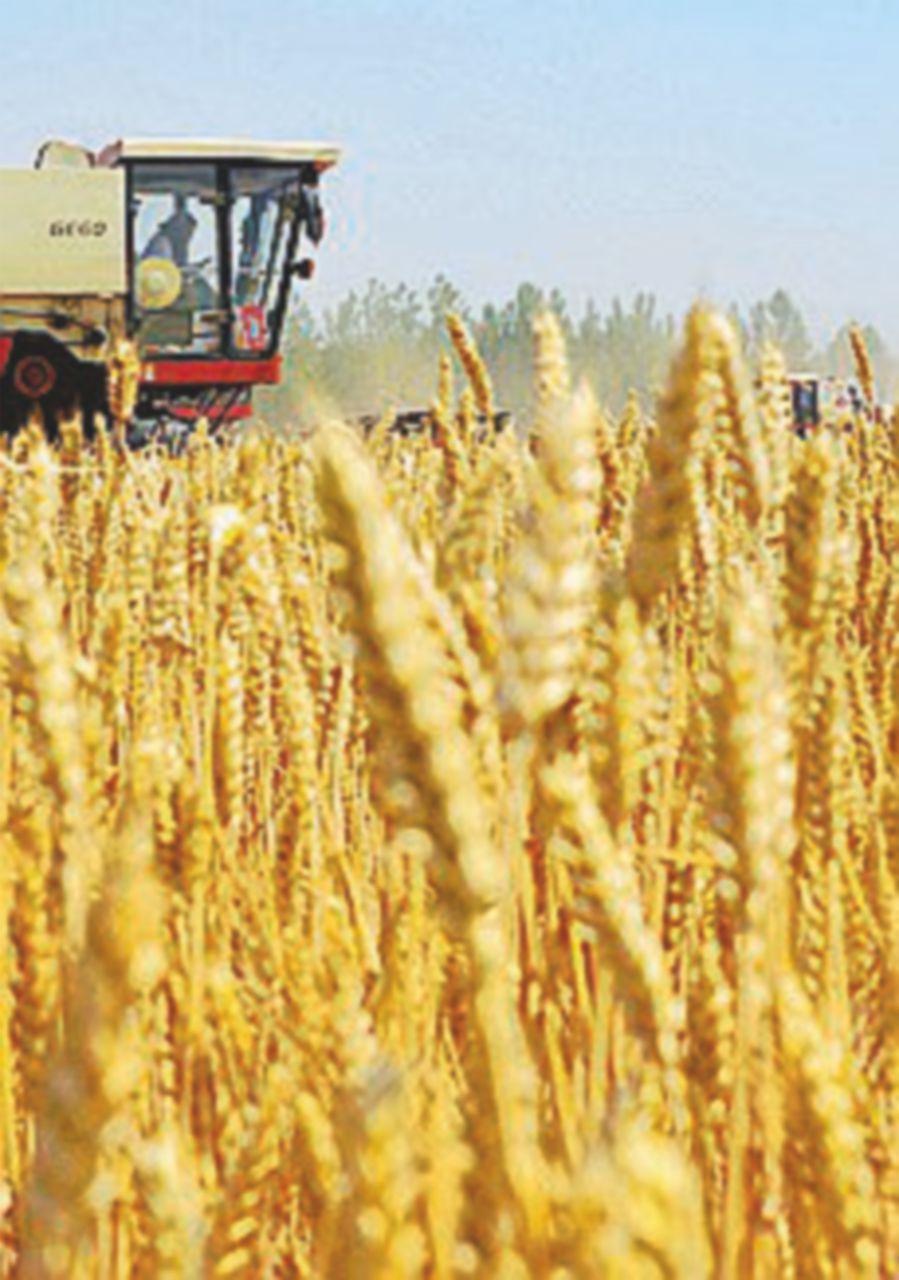 Sotto sequestro 6 mila quintali di grano contaminato