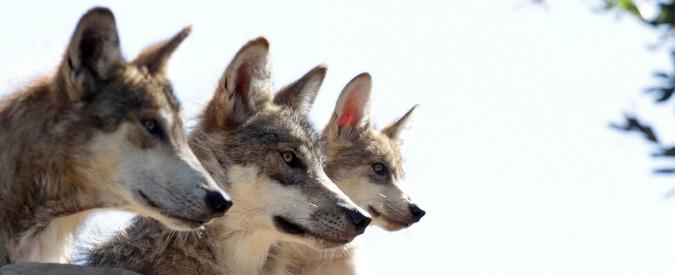 """Traffico di cuccioli, sequestrati 229 esemplari """"ibridi"""" pericolosi. """"Incrociavano lupi e cani cecoslovacchi"""""""