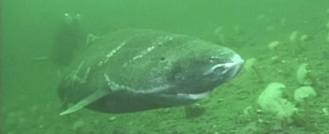 Lo squalo della Groenlandia: può superare i 400 anni. È il vertebrato più longevo
