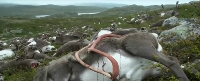 """Norvegia, 323 renne morte durante un temporale. """"Forse uccise da un solo fulmine"""""""