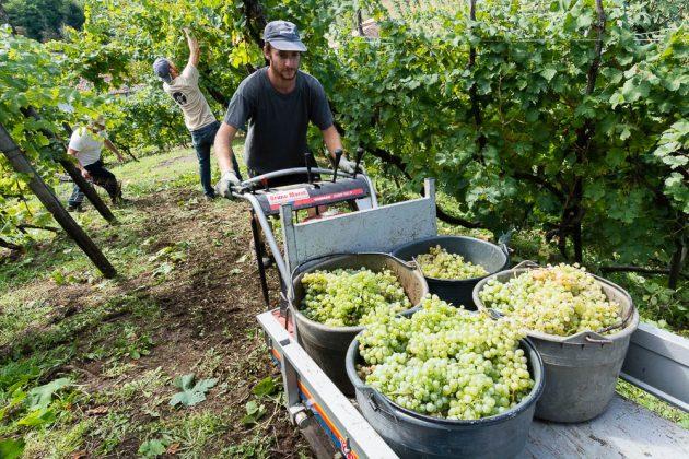 Vendemmia eroica: vigne Bortolin