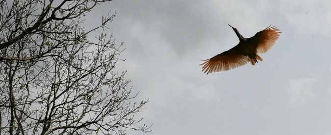 """Ucciso un altro Ibis eremita da un bracconiere. Gli esperti: """"Atto criminale. E' un esemplare raro"""""""