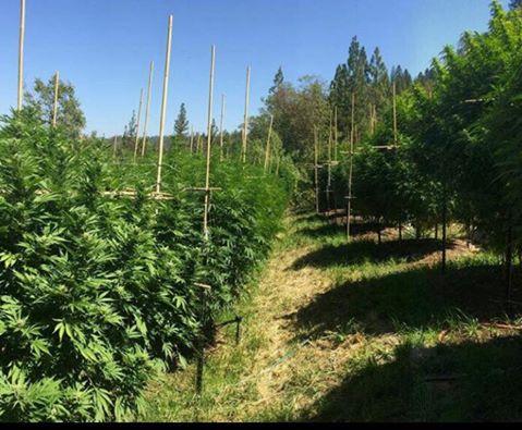 marijuana-piantagioni-a-rremull-mat