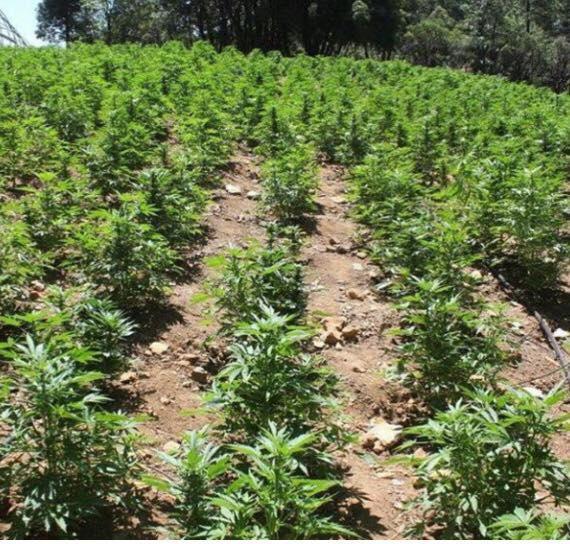 marijuana-piantagioni2