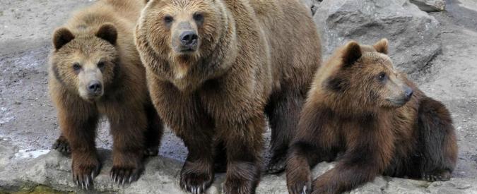 Trento, terzo orso ucciso in Val di Non da un veleno vietato dal 2012. La Procura indaga
