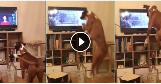 Una pubblicità da cani. La reazione del boxer davanti alla Tv è tutta da ridere