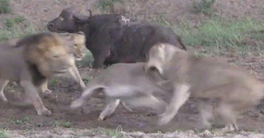 Scoppia la rissa fra i leoni prima di divorare la preda, il bufalo ringrazia e scappa alla chetichella