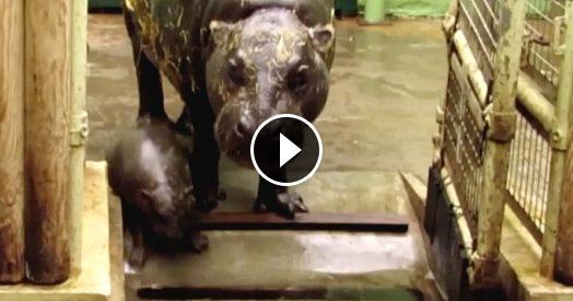 L'ippopotamo è piccolo, piccolo, piccolo. Questo cucciolo pigmeo era atteso da 10 anni