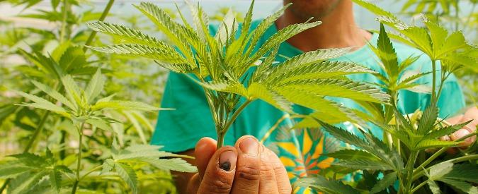 Stati Uniti, vita da trimmer: i lavoratori stagionali della marijuana legale